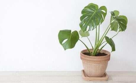 35- O Imbé é uma das plantas para dentro de casa ideais para jardim de inverno sombreado. Fonte: Dicas de Mulher