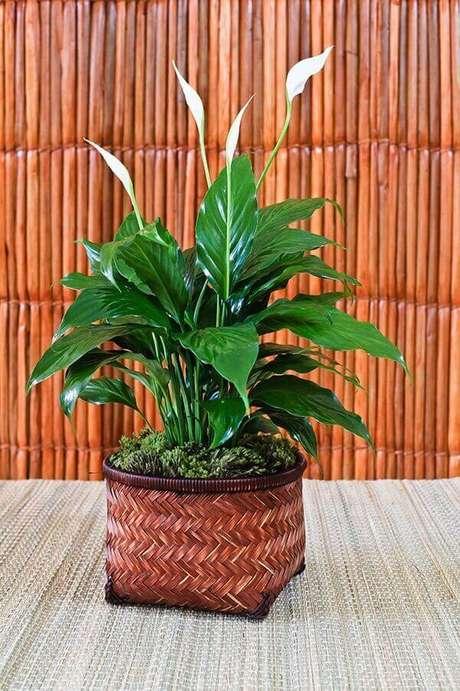 39- O lírio da paz é uma das plantas para dentro de casa que se adapta ao clima quente e úmido. Fonte: Blog Maria Piacasa