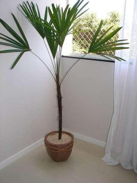 42- A palmeira ráfia é uma das plantas para dentro de casa que pode ser cultivada com uma ou mais hastes. Fonte: Hometeka
