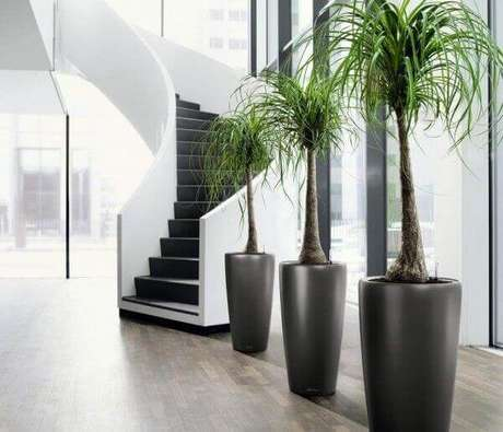 50- A pata de elefante são plantas para dentro de casa de porte médio e ideais para decorar ambientes amplos. Fonte: Ligada nas Dicas