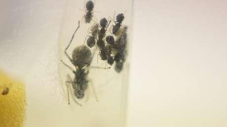 Tão logo nascem, as aranhas ingerem gotículas do líquido proteico e depois passam a sugá-lo da mãe