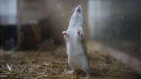 Camundongos, assim como os humanos, não têm pelos na planta dos pés