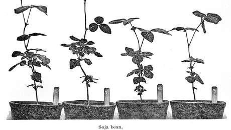 Ilustração datada de 1896, atribuída à Secretaria de Agricultura dos EUA, mostra pés de soja; planta tem origem na Ásia