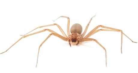 O estudo decifrou o mecanismo de ação do veneno lançado pela aranha-marrom e também a forma sistêmica e cutânea da doença.