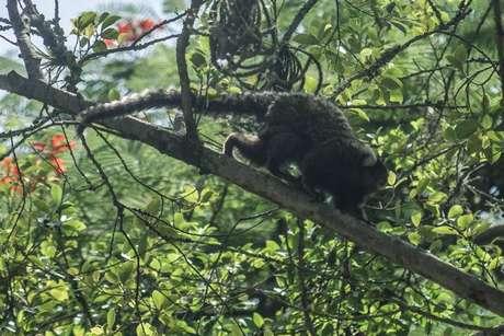 Segundo pesquisadores, o vírus da zika apareceu originalmente em macacos na África e, esporadicamente, saía das florestas e infectava populações humanas