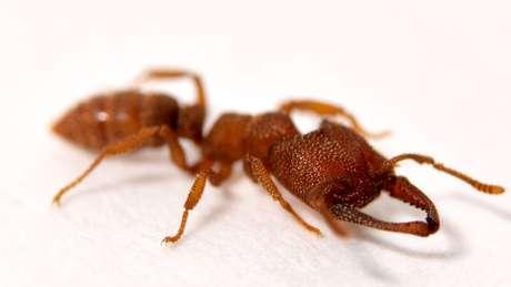 A formiga drácula, nome da Mystrium camillae, morde a uma velocidade 5 mil vezes mais rápida que uma picada de olho