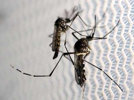 Mosquitos Aedes aegypti em Campinas