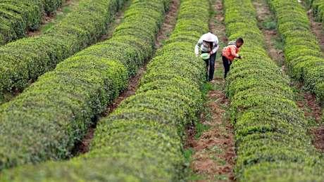 Ren nasceu em Guizhou, uma zona rural da China onde muitos dos habitantes vivem da colheita do chá