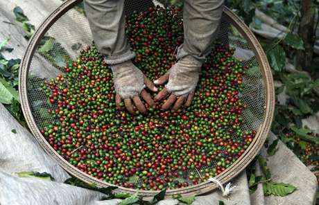 Trabalhador seleciona café em fazenda no Espírito Santo do Pinhal, São Paulo 18/05/2012 REUTERS/Nacho Doce