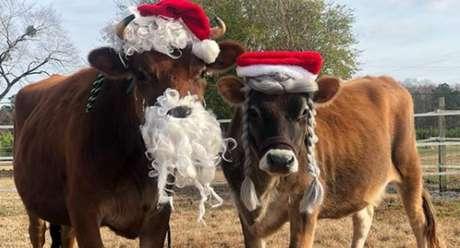 Boi Finn (esquerda) ao lado de sua parceira Daisy (direita) com a fantasia que usaram neste Natal.