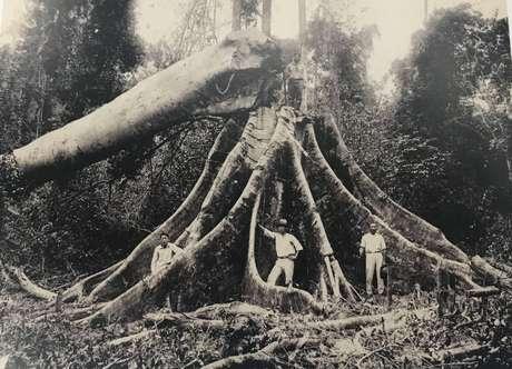Só 3% da madeira derrubada na Mata Atlântica para dar lugar a fazendas foi aproveitada; em geral, matas eram incendiadas e transformadas em pastos para prepará-las para a agricultura, assim como hoje ocorre na Amazônia