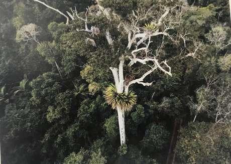 Colar de bromélias em torno de árvore na Reserva Natural Vale, em Linhares, no Espírito Santo.
