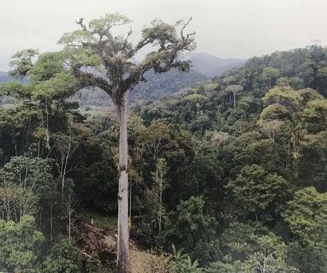O jequitibá de Camacã, na Bahia, é considerado atualmente a maior árvore da Mata Atlântica, com 58 metros de altura e 13,6 metros de circunferência do tronco, medida a 1,3 metro do solo.