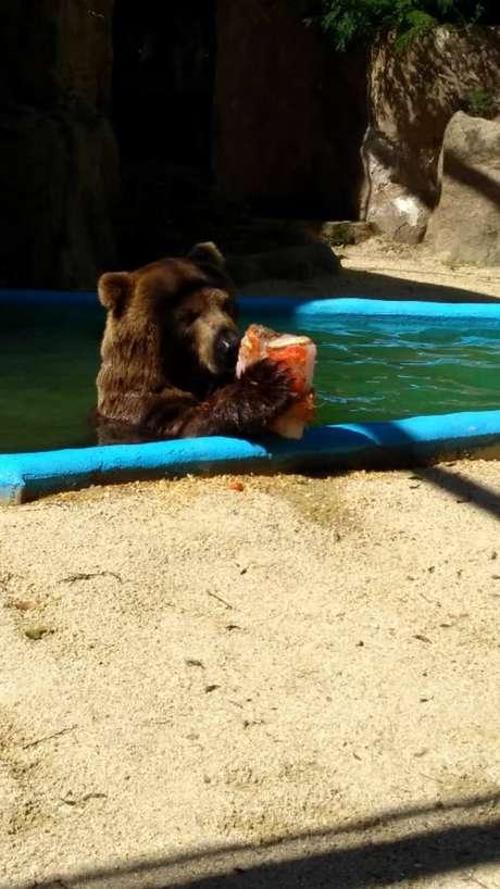 Urso se refresca com picolé de frutas em zoológico do Rio