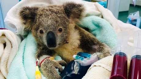 Um filhote de coala também foi tratado após ser encontrado com mais de 100 carrapatos.