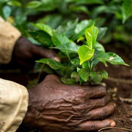 Mudas de café arábica crescendo na Etiópia