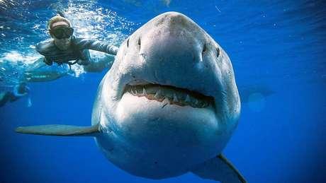 Mergulhadora nada na superfície do oceano ao lado do tubarão-branco
