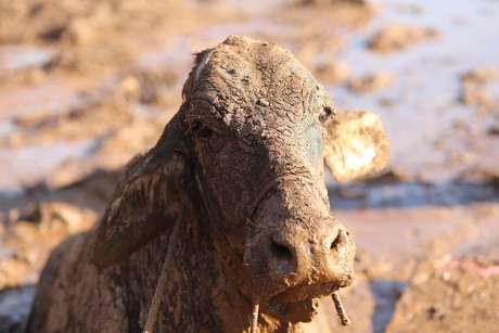 Vaca é fotografada presa no lamaçal de rejeitos de ferro no dia 27/01/2019