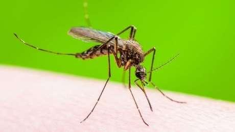 O mosquito Aedis aegypti, transmissor da dengue