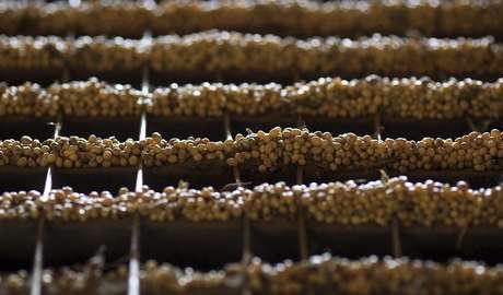 Grãos de soja cultivados em Primavera do Leste, Mato Grosso 06/02/2013 REUTERS/Paulo Whitaker