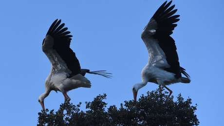 Aves macho têm dois cromossomos X