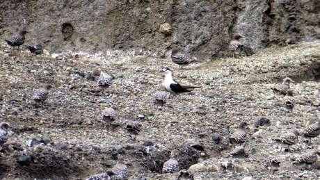 Os cientistas também encontraram aves marinhas trinta-reis-das-rocas (Onychoprion fuscatus) na nova ilha