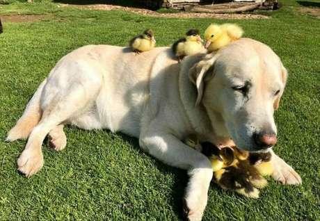 Labrador que vive em ONG no Reino Unido 'adota' patinhos.