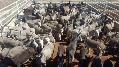 Jumentos reunidos para abate em frigorífico em Miguel Calmon (BA), em imagem de 2016, quando Ministério Público chegou a suspenter a atividade