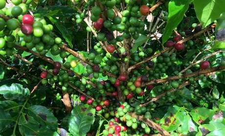 Plantação de café em São  Desiderio (BA)  22/03/2018 REUTERS/Roberto Samora
