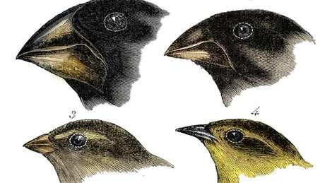 Darwin notou uma variação do bico enquanto observava diferentes espécies de pássaros em Galápagos