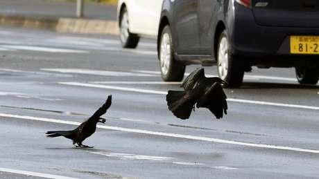 Os corvos de Sendai, no Japão, aprenderam a colocar nozes em frente aos carros para que os pneus quebrem as cascas