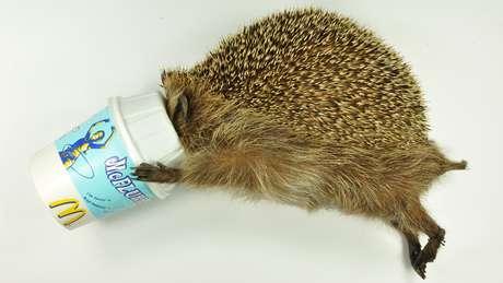 Ouriço McFlurry enfiou a cabeça pela abertura de uma tigela de sorvete do McDonald's, mas não conseguiu tirá-la e morreu de fome