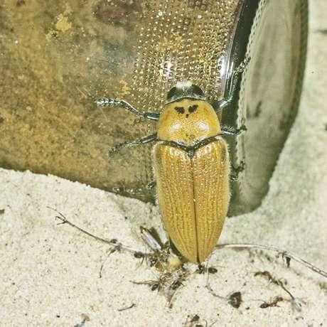 Besouro australiano correu o risco de se extinguir por confundir uma garrafa de cerveja com uma fêmea gigante