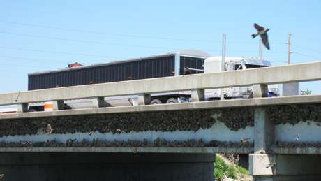 Andorinha-de-dorso-acanelado tem asas mais curtas e arendondadas, o que a permite manobrar melhor nas estradas