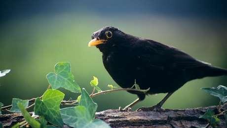 O Melro-preto tem um bico mais curto e canta em um tom mais alto do que seus parentes da floresta