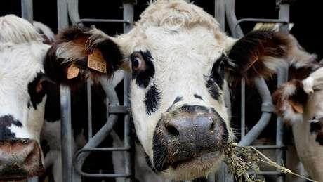 Vacas leiteiras mastigam a alfafa no noroeste da França, uma parte do mundo onde as pessoas se adaptaram a beber leite há cerca de 3 mil anos