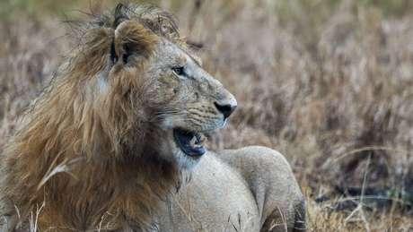 Há cerca de 2 mil leões no Parque Nacional Kruger