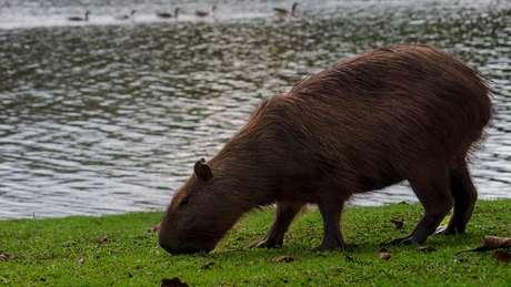 O carrapato-estrela vive em mamíferos como a capivara