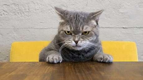 Gato cinza olhando de forma 'raivosa'