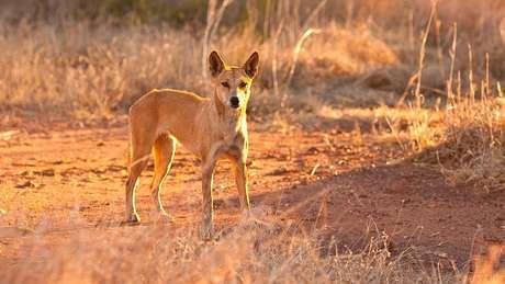 O dingo entrou na van, na Ilha Fraser, e mordeu o pescoço da criança