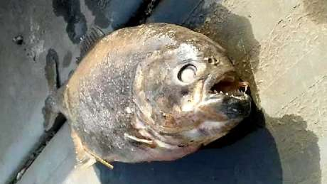 O peixe está sendo analisado para determinar sua espécie