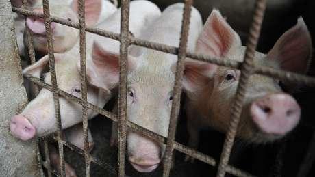Metade da população global de porcos está na China
