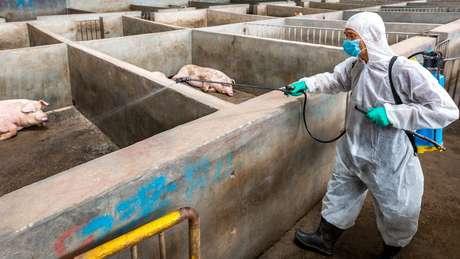 A China alega ter abatido mais de um milhão de porcos, mas analistas acreditam que o número pode estar sendo subnotificado