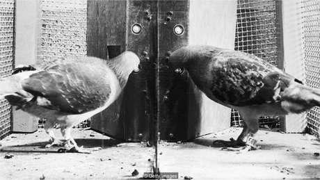 Dois pombos em uma caixa desenvolvida pelo psicólogo BF Skinner são estudados como parte de pesquisa sobre condicionamento operante