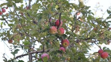 Macieira selvagem em Tien Shan, a ancestral da moderna maçã