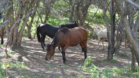 Cavalos comendo maçã na região de Tien Shan