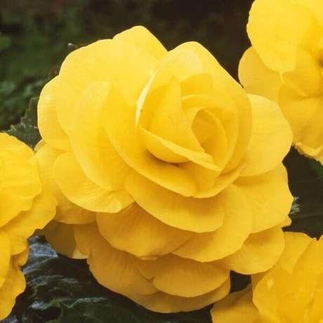 20- As cores mais comuns de begônia são branca, amarela, laranja, vermelha e cor de rosa. Fonte: Easy to grow bulbs