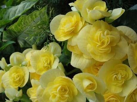 10 – A begônia é uma planta de regiões tropicais, principalmente da América. Fonte: Anna Motta