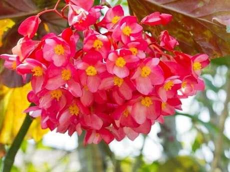 45 – A begônia é uma flor para jardim de fácil manejo. Fonte: The Garden Clinic