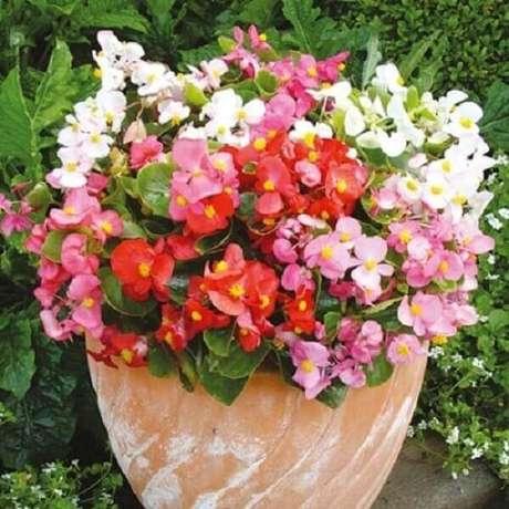 12- A begônia cerosa é uma planta que possui várias cores diferentes. Fonte: Toca do Verde
